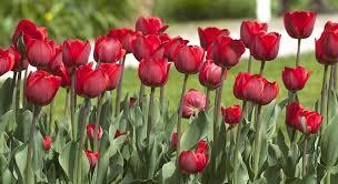 planting bulbs in your garden for a