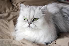 Jenis Kucing Peliharaan Terpopuler