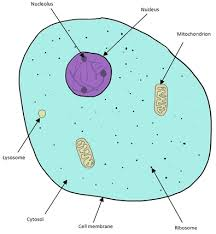 animal cells under a light microscope. Delighful Under The Typical Animal Cell Is Shown In The Diagram Below Important Structures  Inside Include Inside Animal Cells Under A Light Microscope E