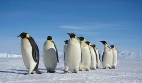emperor penguin habitat. Exellent Habitat Emperor Penguin To Habitat N