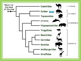 Chordata Taxonomy Chart Sus Scrofa Domestica