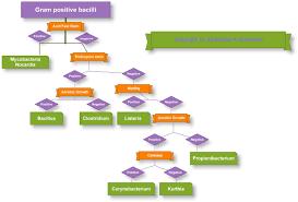 Gram Positive Bacilli Gram Positive Bacilli Medical Microbiology