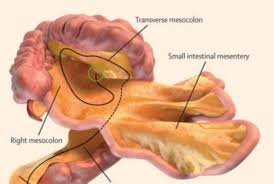 Image result for human digestive system has a spectacular design