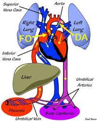 Fetal Circulation Congenital Heart Disease Cove Point