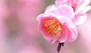 「梅の花 花言葉」の画像検索結果