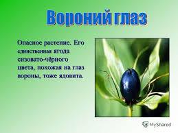 Презентация на тему Окружающий мир класс Тема Ядовитые  7 Опасное растение