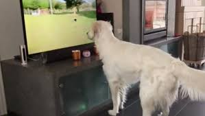 Bud Light Dog Driving Commercial Golden Retriever Desperately Wants To Play With Dog On The