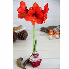amaryllis wax bulbs