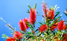 Image result for images of Adelaide's bottle brush tree lined streets
