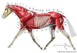 Equine Deep Musculature Anatomy Chart