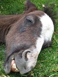 Horse Teeth Wikipedia