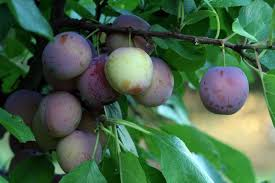 Dallas Fruit And Vegetable Grower  Growing Plums In Dallas And Fruit Trees For Central Texas