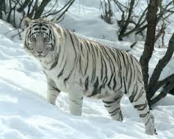 siberian tiger vs bengal tiger. Exellent Siberian No Caption Provided Vs Throughout Siberian Tiger Vs Bengal L