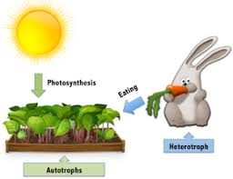 Autotrophs Vs Heterotrophs Lesson For Kids Explanation Facts