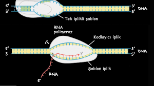 Transkripsiyon ve mRNA'nın İşlenmesi - YouTube