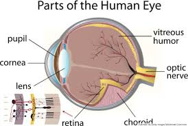 the human eye is wired backwards and these scientists think human eye anatomy