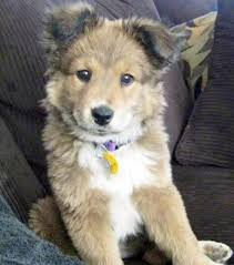 husky lab mix puppy. Fine Lab Husky Lab Mix Inside Husky Lab Mix Puppy S