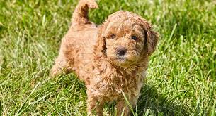 learn about the mini goldendoodle the mini goldendoodle is a golden retriever poodle mix