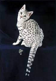 foothill felines y spots a silver spotted savannah female