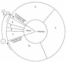 Cell Cycle Diagram Worksheet Cell Cycle Biology Classroom