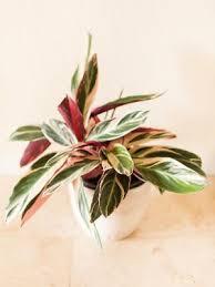 A beleza é tão grande quanto o nome: Calathea Triostar Como Cuidar Dessa Planta De Folhagem Verde E Rosa