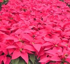 Poinsettias - Facts, Growing and Caring Tips of Poinsettia Plant