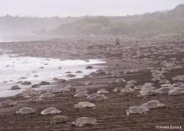 Arribada Mass Nesting Of Sea Turtles Playa Ostional
