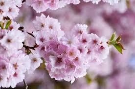 Bunga Sakura Yuk Cari Tahu Fakta Menarik Bunga Sakura Yang Dapat Tumbuh