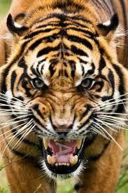 tiger roar side view. Wonderful Roar Tiger Roar  Google Search Angry Tiger Animals Beautiful Beautiful Cats Tiger  Roaring For Roar Side View G