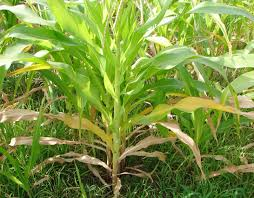 Image result for maize nutrient deficiency