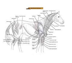 Equine Anatomy Chart Bones Muscles German