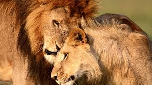 lion high definition