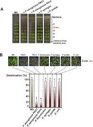 Grass Seed Germination Chart The Plant Pathogen Pseudomonas Aeruginosa Triggers A Della