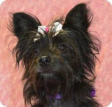 black cairn terrier mix. Contemporary Cairn In Black Cairn Terrier Mix I