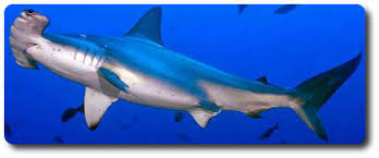 here are interesting facts about hammerhead sharks shark sider hammerhead shark