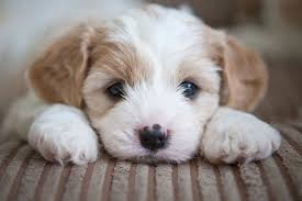 cute puppies images adorable puppies wallpaper and background photos