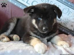 husky mix puppies blue eyes husky mix zxtrx7wp