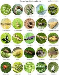 garden pest. Pest In The Garden Organic Control Common Pests Bugs Identification Uk