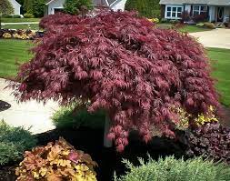 complete guide to japanese maples the
