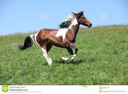 black and white paint horses running. Exellent Running Gorgeous Brown And White Stallion Of Paint Horse Running And Black White Paint Horses Running R