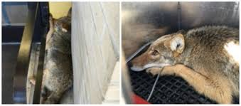 coyote captured in middleburg heights shopping center com