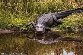 2017 Alligator Price Chart Florida Trump Demanded Border Wall Get An Alligator Or Snake Moat