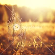 dry grass field background. Dry Plant On Autumn Field Background Grass A