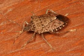 Small Bugs In Bedroom Whats In Your Attic Brown Marmorated Stink Bugs Perhaps