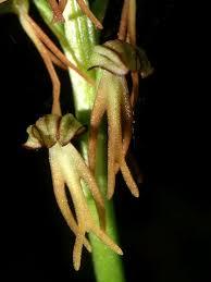 Aceras anthropophorum – Wikipédia, a enciclopédia livre