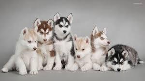 husky puppy wallpaper desktop.  Wallpaper Siberian  And Husky Puppy Wallpaper Desktop G
