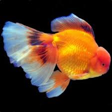 Fantail Goldfish Growth Chart Goldfish Faqs Frequently Asked Questions