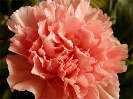 Resultado de imagen para flor clavel