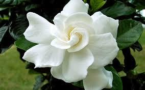 gardenia jasminoides august beauty cape jasmine august beauty august beauty cape jasmine