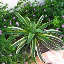 rosette succulents